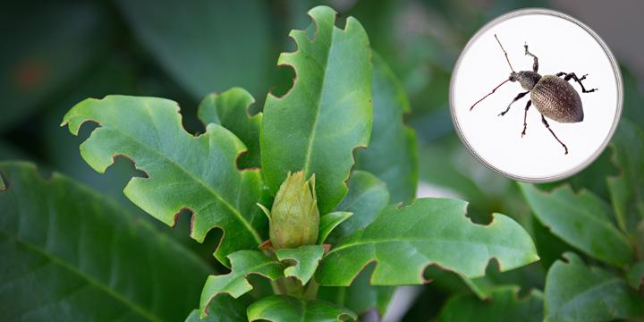 Relativ Rhododendron – Schädlinge und Pilzerkrankungen - Das Grüne Telefon UD66
