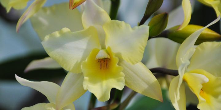 Duftende Orchideen U2013 In Der Natur Häufiger Als Auf Der Fensterbank